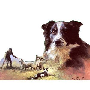 Border Collie At Work Card 6 Pack (Border Collies)