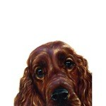 Irish Setter Head Card 6 Pack