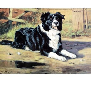 Anticipation Card 6 Pack (Border Collie)