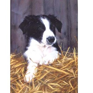 Contended Card 6 Pack (Border Collie)