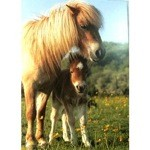 Shetland Mare and Foal in Buttercups Card 6 Pack