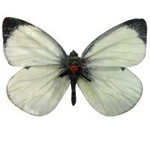 Cabbage White Butterfly Clock